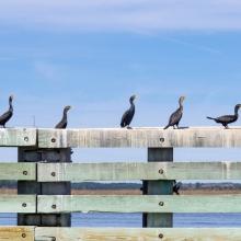 Edisto-3614_birds-on-dock-rail