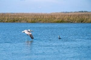 Pelican Edisto Creek