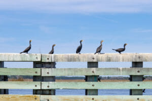 Birds on Dock at Edisto
